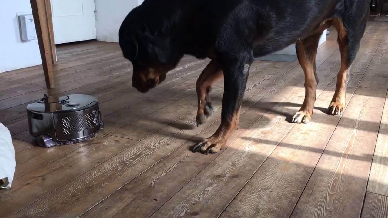 Dyson 360 Eye и собака